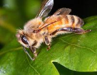 abeille-a-miel
