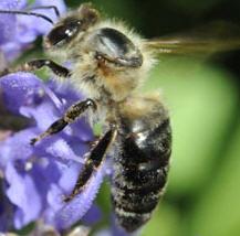 abeille-caucasienne