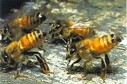 abeille italienne