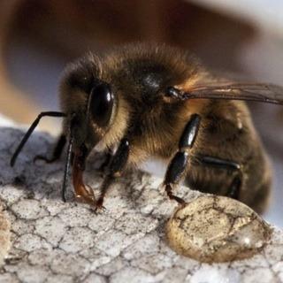 abeille-noire-2apis