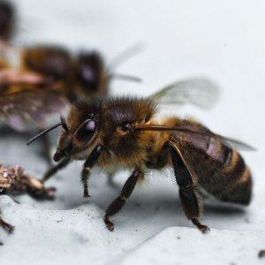 abeille-noire-france