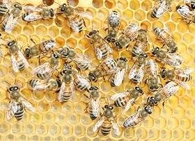 abeille buckfast