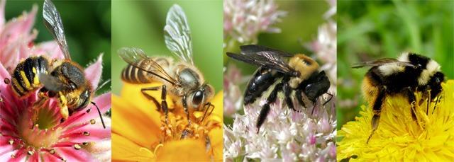 les différents types d'abeilles