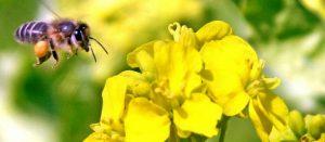 abeille-butine-miel
