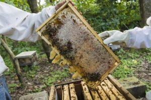 Apiculteurs manipulant une ruche