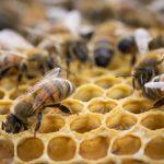 abeilles dans leur ruche