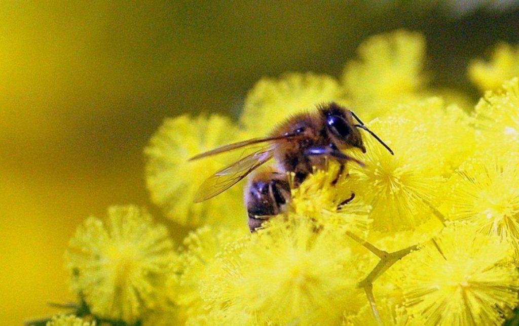 Plantes mellifères: Mimosa