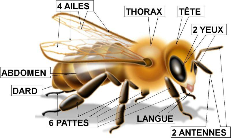 La biologie des abeilles