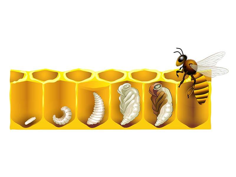 Le cycle de vie des abeilles