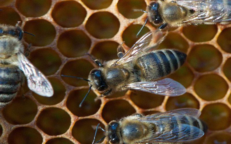 L'abeille ouvrière
