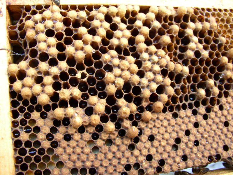 Le couvain d'abeille