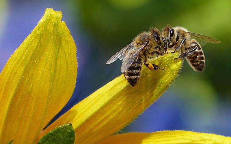 Les phéromones des abeilles