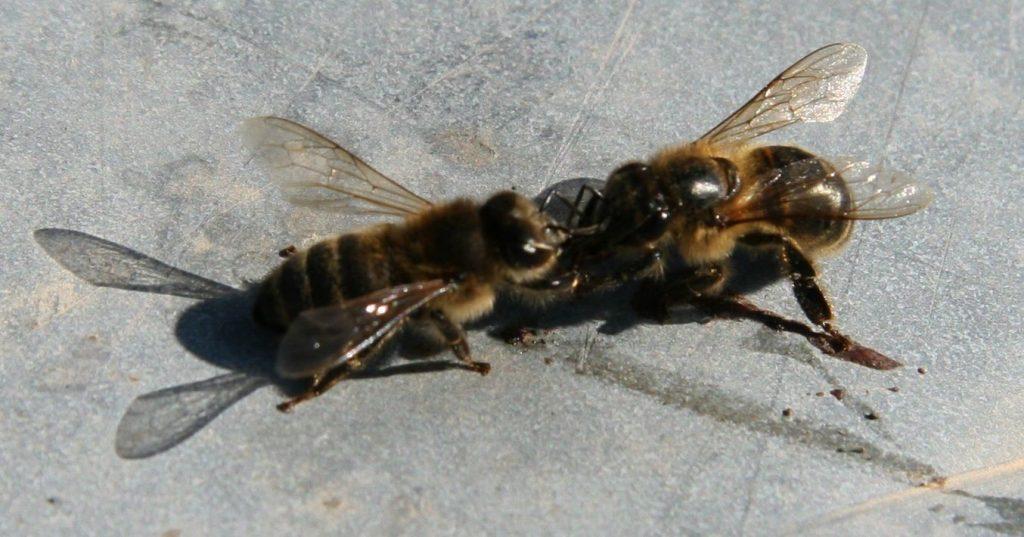Les maladies des abeilles