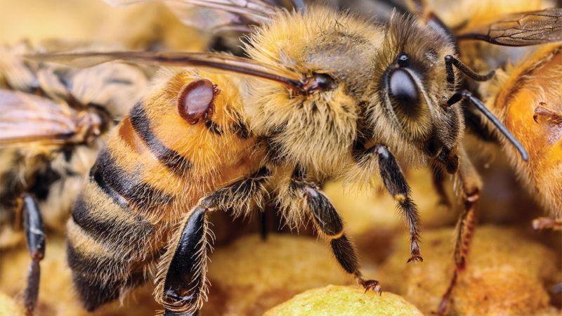 Se débarrasser du varroa
