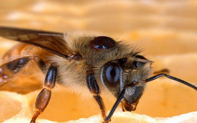 Les parasites des abeilles